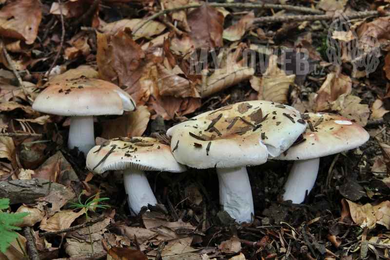 Russula curtipes