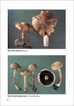 Some rare agaricales with brown or darker spores - HAUSKNECHT A., KRISAI-GREILHUBER I.
