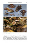Micromphale sect. Perforantia (Agaricales, Basidiomycetes); Expansion and phylogenetic placement (2016)-Ronald H. Petersen, Kar
